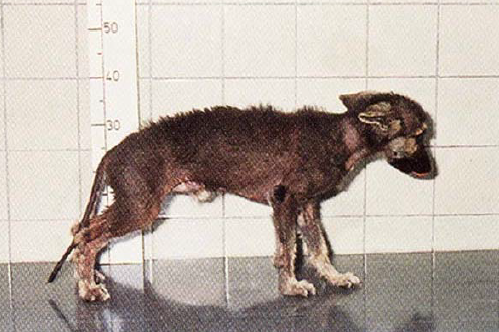 enanismo hipofisario perro