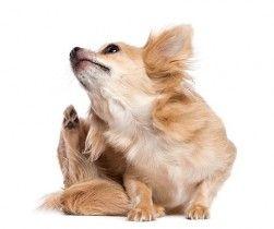 picor en perro