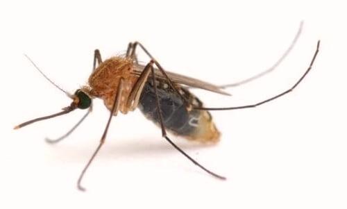 enfermedad del mosquito en perro leishmania