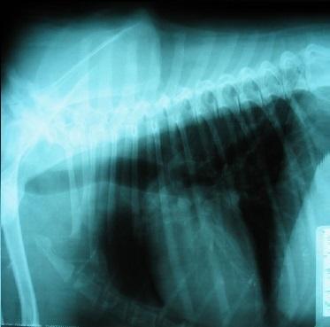 Radiografía latero lateral de tórax perro